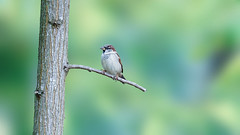Bokeh selection of the week (1) : a sparrow in front of a colored background (Franck Zumella) Tags: sparrow moineau tree bird oiseau arbre nature animal wildlife background arrière plan bokeh colors color couleur colored green blue vert bleu