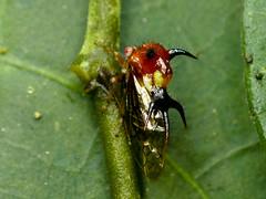 Cyphonia sp. (Eerika Schulz) Tags: buckelzikade zikade cicada treehopper mindo ecuador eerika schulz cyphonia