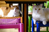 Fuji et Fogo-1442 (erickphilippe) Tags: felines félins feline félin animaux pets pet animals animal looks regards regard yeux green blue pink vert bleu orange rose colors color couleurs couleur chair chaise look oeil eyes eye cats chats chat cat
