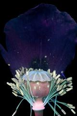 Poppy Pod (C. Burrows) Tags: uvivf flower botany nature