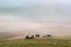 Nasbinals, Lozère (lyli12) Tags: brume mist aubrac lozère landscape paysage languedocroussillon campagne vache nature leverdesoleil france nikon d7000