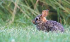 Bunny in the Grass (imageClear) Tags: rabbit bunny wildlife cute nature grass summer animal aperture nikon d500 80400mm imageclear flickr photostream