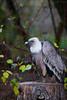 griffon vulture (Cloudtail the Snow Leopard) Tags: geier tier animal vogel bird gänsegeier gyphs fulvus griffon vulture eurasian birdofprey zoo mulhouse