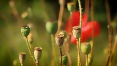 *** (pszcz9) Tags: przyroda nature natura mak poppy bokeh zbliżenie closeup beautifulearth sony a77