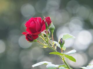 Róża Rose Rosas Roses