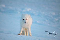 Beautiful Arctic Fox (Dan King Alaskan Photography) Tags: arcticfox fox wildlife vulpeslagopus white winter snow snowfox prudhoebay alaska canon50d sigma150500mm