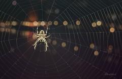 Disco-Spider (gabrieleskwar) Tags: outdoor lichter spinne spinnennetz makro schatten schwarz