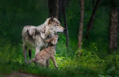 Let's Play! (Ania Tuzel Photography) Tags: alphafemale quebec naturepreserve omega wolfbaby 500mm greywolf wolfpup playtime wolf nature