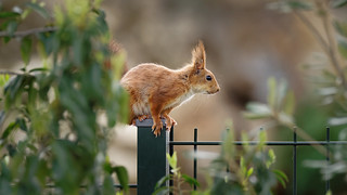 a red squirrel on a fence
