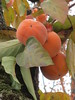 Botanical Gardens (Pat M2007) Tags: persimmon diospyroskaki