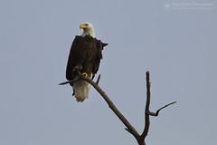 Keeping Watch (right2roam) Tags: baldeagle haliaeetusleucocephalus american raptor hunting perched nebraska bird birdofprey wildlife right2roam