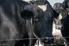Cow - Amish Country (nebulous 1) Tags: amishcountry farm glene cow cows nebulous1 nikon