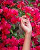Pluck! (Tex Texin) Tags: dejavigil model outdoor portrait red flower floral hand finger pluck pick palm