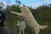 IMG_1325 (goaniwhere) Tags: wolf animal wolves wildanimal sanctuary