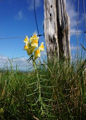 Yellow toadflax flower by South Downs Way (Leimenide) Tags: toadflax flower plant fence south downs way downland wild yellow nature path