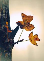 Leaves to one side (Gunn Shots (Mark Gunn)) Tags: autumn fall tree leaf leaves pun