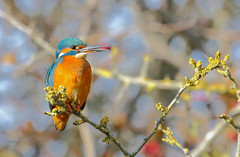 Kingfisher (young female) (badger2028) Tags: kingfisher female alcedo atthis