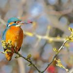 Kingfisher (young female) thumbnail