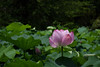 Nelumbo nucifera (Hachimaki123) Tags: 東京 日本 tokyo japan uenopark parqueueno 上野恩賜公園 plant planta flor flower 植物 花 nelumbonucifera flordeloto lotus loto