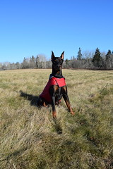 DSC_0059 (justinluv) Tags: achilles doberman dog dobe dobie dobermanpinscher eurodoberman canine