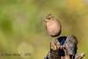 xxDSC_9189 (Eyas Awad) Tags: eyasawad nikond800 nikonafs300mmf4 bird birds birdwatching wildlife nature fringuello fringillacoelebs