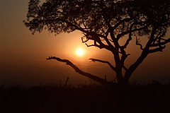 The Glow of Evening in the Wild (The Spirit of the World) Tags: madikwe sun light sunlight acacia sunset evening tree limb night safari gamedrive gamereserve nature southafrica africa
