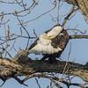 BALD EAGLE (nsxbirder) Tags: baldeagle adult indiana whitewaterriver brookville preening franklincounty male
