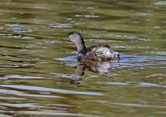 Least Grebe (1krispy1) Tags: grebe leastgrebe texasbirds