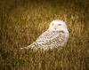 Owl at Peace . . . (Dr. Farnsworth) Tags: birds large snowy owl snowyowl wastewater treatment field mice voles muskegon mi michigan fall november2017