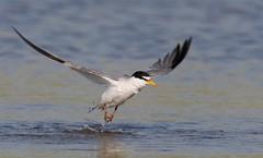 Least Tern Nickerson beach ny. (mandokid1) Tags: canon ef400mmdoii 1dx birds terns nickerson