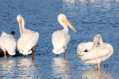 Pelicans 001 (Val Hightower) Tags: penguins lakeconway conwayarkansas mayflowerarkansas conway mayflower arkansas