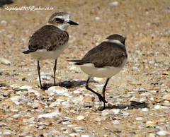 DSC01100 Kentish Plover (Charadrius alexandrinus) (vlupadya) Tags: nature animal aves fauna indianbirds kentish plover charadrius kundapura karnataka