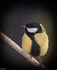 Mésange charbonnière. (Crilion43) Tags: arbres région oiseaux véreaux centre paysages animaux mésanges villes