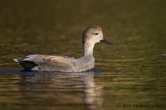 Gadwall (Matt Shellenberg) Tags: bird duck brown missouri gadwall drake