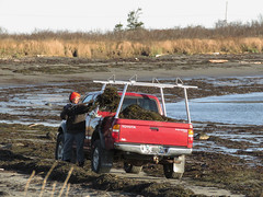44/52/17 Harvesting seaweed for the garden (Hodgey) Tags: melissa seaweed harvest truck beach pitchfork 52weeksfornotdogs carryingplacecove maine