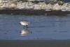 IMG_3246 (SweetMeow) Tags: harborisland sthelenaisland ocean beach cameraclub sanderling