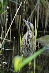 _DSC6051 - Bittern (steve R J) Tags: bittern fishers green lee valley waltham abbey essex birds wader british