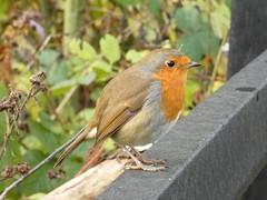 Robin (Deanne Wildsmith) Tags: earthnaturelife robin staffordshire wolseleynaturecentre bird