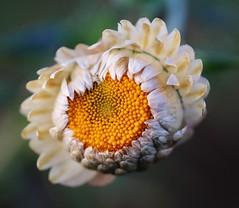 Flower (LuckyMeyer) Tags: white yellow flower fleur makro green garden blume blüte pflanze plant