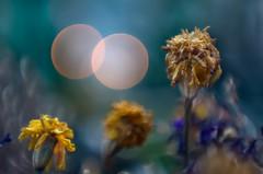 Notturno (bresciano.carla) Tags: helios442 helios pentax pentaxk500 bokeh bubbles light flower flowers night vintagelens m42 manualfocus pentaxart naturalmente