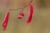 Immagini autunnali (paolotrapella) Tags: autunno red foglie rosso bokeh flickr paolotrapella tamron70300vc