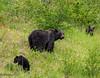 A Mama Look (maureen.elliott) Tags: wildlife grizzlybear bears cubs family animals jaspernationalpark alberta babies