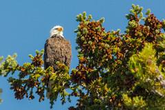 Looking up (ChicagoBob46) Tags: baldeagle eagle bird yellowstone yellowstonenationalpark nature wildlife coth5 sunrays5 ngc npc