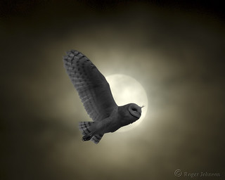 Owl In The Moon Light