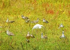 Feeling Surrounded (dynamicbirder) Tags: snowy egret godwit willet shorebirds nikon p900 coth5 sunrays5