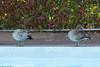 Australia Wood Ducks (ZapGaspix) Tags: copyrightpaulthompson drake ducks woodducks birds waterfowl canon 60d balmoral lakemacquarie