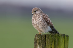 R17_0346 (ronald groenendijk) Tags: cronaldgroenendijk 2017 falcotinnunculus rgflickrrg animal bird birds birdsofprey groenendijk holland kestrel nature natuur natuurfotografie netherlands outdoor ronaldgroenendijk roofvogels torenvalk vogel vogels wildlife