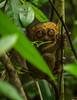 Tarsier (robn6656) Tags: tarsier animal travel bohol philippines adventure wild primate olympus em1 nature