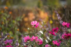 Farewell Autumn (paulapics2) Tags: flora floral cosmos pink fleur plant nature hydehallgardens rhshydehall outdoor bokeh depthoffield canoneos5dmarkiii sigma105mmf28exdgoshsmmacro bright colourful autumn fall 7dwfflora