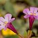 Diplacus (=Mimulus) torreyi (Torrey's Monkeyflower)